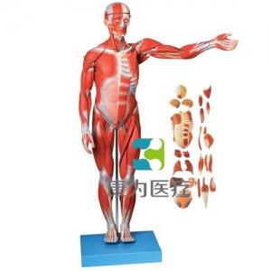 """""""康为医疗""""人体全身肌肉附内脏模型(正常尺寸)"""