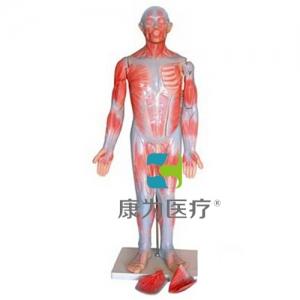 """""""康为医疗""""85cm全身肌肉解剖"""