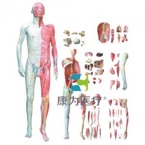 """""""万博手机手机登录app医疗""""人体全身层次肌肉解剖模型"""