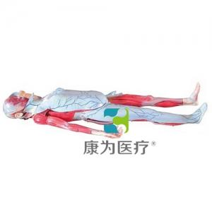 """""""万博手机手机登录app医疗""""姜式人体层次解剖模型"""