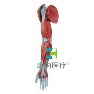 """""""万博手机手机登录app医疗""""上肢肌肉解剖模型"""