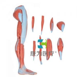"""""""万博手机手机登录app医疗""""下肢肌肉解剖模型"""