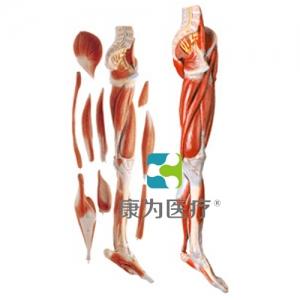 """""""万博手机手机登录app医疗""""下肢肌肉附主要血管神经模型"""
