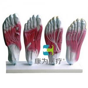 """""""万博手机手机登录app医疗""""足底肌肉解剖模型"""