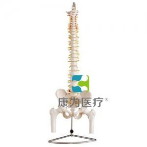"""""""万博手机手机登录app医疗""""自然大脊椎附盆骨带半腿骨模型"""