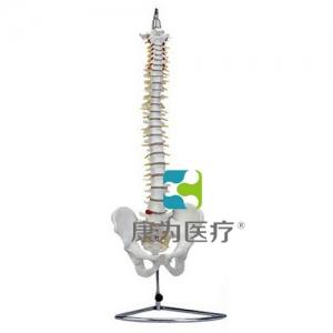 """""""万博手机手机登录app医疗""""高级自然大脊柱骨带盆骨模型"""