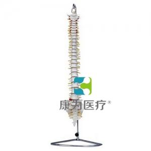 """""""万博手机手机登录app医疗""""自然大脊柱骨模型"""