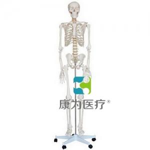 """""""万博手机手机登录app医疗""""男性全身骨骼模型"""