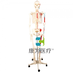 """""""万博手机手机登录app医疗""""人体骨骼半边肌肉着色模型"""