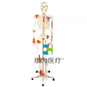 """""""万博手机手机登录app医疗""""人体骨骼附关节韧带和肌肉着色模型"""