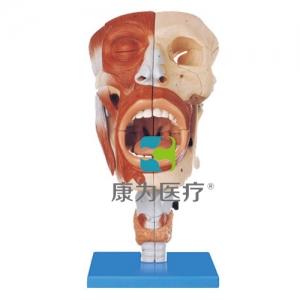 """""""万博手机手机登录app医疗""""鼻、口、咽、喉腔模型"""