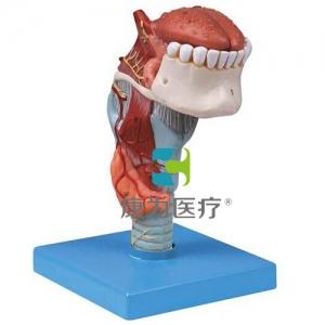 """""""万博手机手机登录app医疗""""喉连舌、牙模型"""