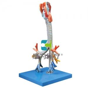 """""""万博手机手机登录app医疗""""喉与气管、支气管树模型"""