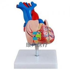 """""""康为医疗""""自然大心脏解剖模型"""