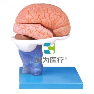 """""""万博手机手机登录app医疗""""15部分脑解剖模型"""