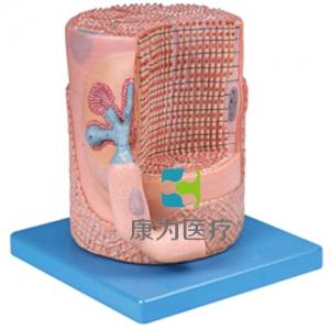"""""""康为医疗""""骨骼肌纤维与运动终板放大模型"""