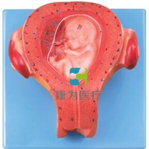 """""""万博手机手机登录app医疗""""三个月胚胎模型"""
